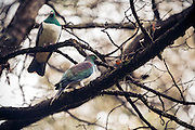 A pair of New Zealand wood pigeons perched among the barren branches of a Southland forest.