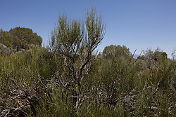 Mormon tea (Ephedra viridis), Hovenweep National Monument, Colorado and Utah.