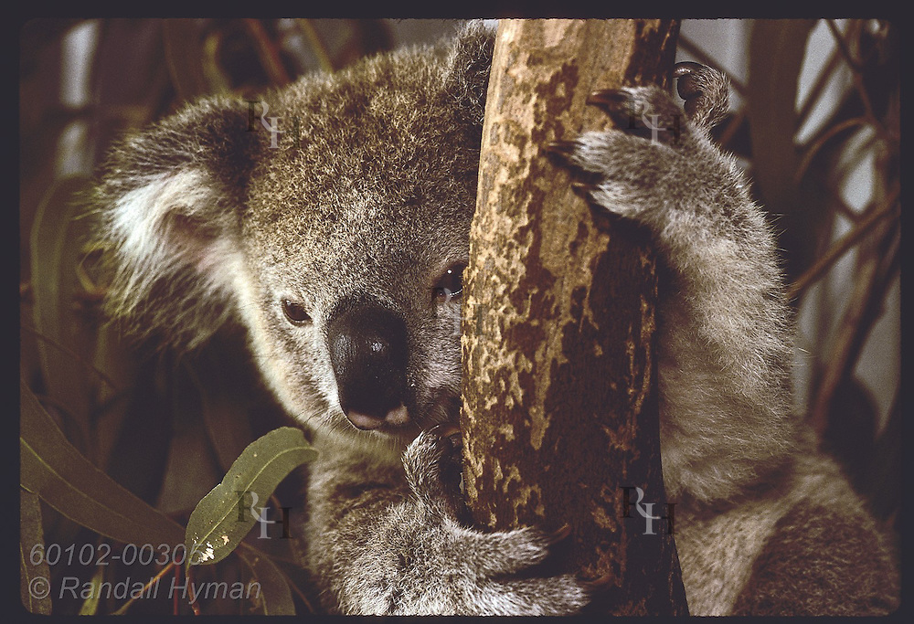 Orphaned 9-month-old koala climbs up tree limb in his cage at the Eprapah rehab center; Brisbane. Australia