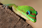 Close-up Madagascar day gecko (Phelsuma madagascariensis madagascariensis)