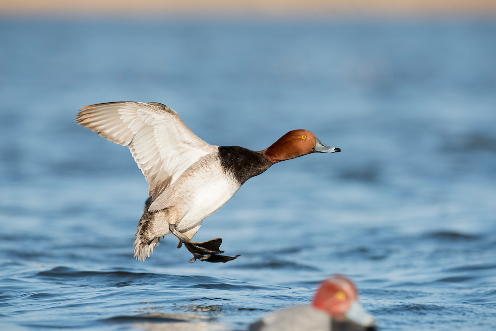 Redhead, Aythya americana, male, Saginaw Bay, Michigan