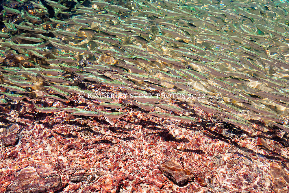 Small fish swim in the rockpools near Quandong Point on the Dampier Peninsular.