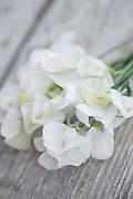 Lathyrus odoratus 'Dorothy Eckford' - sweet pea