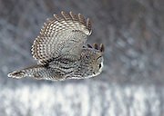 Alaska. A Great Gray Owl (Strix nebulosa) flying by in winter, Anchorage.