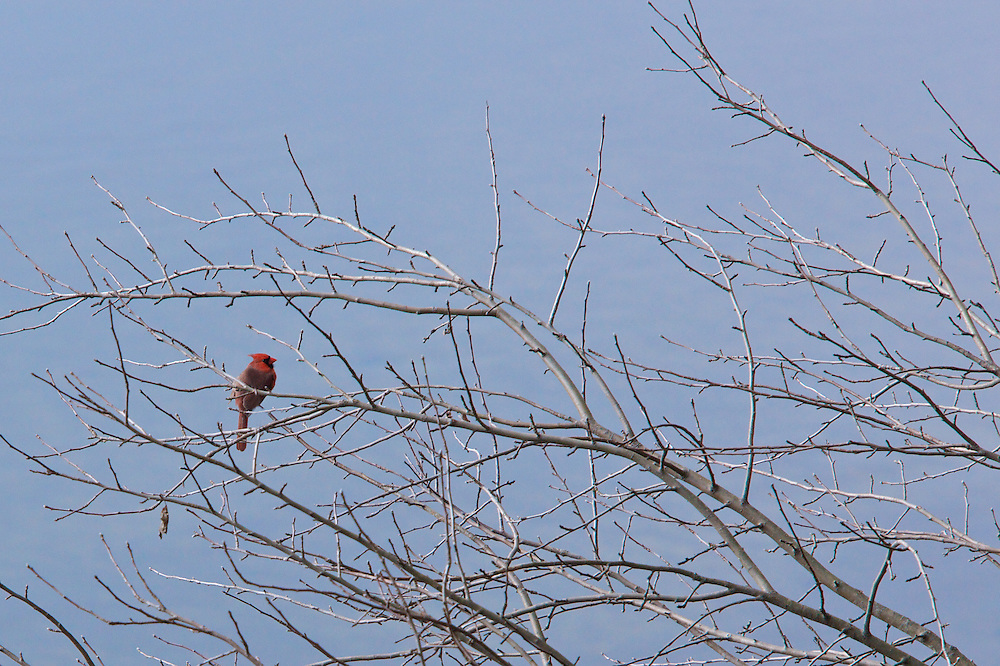 Male Cardinal enjoys a sunny day in early spring.
