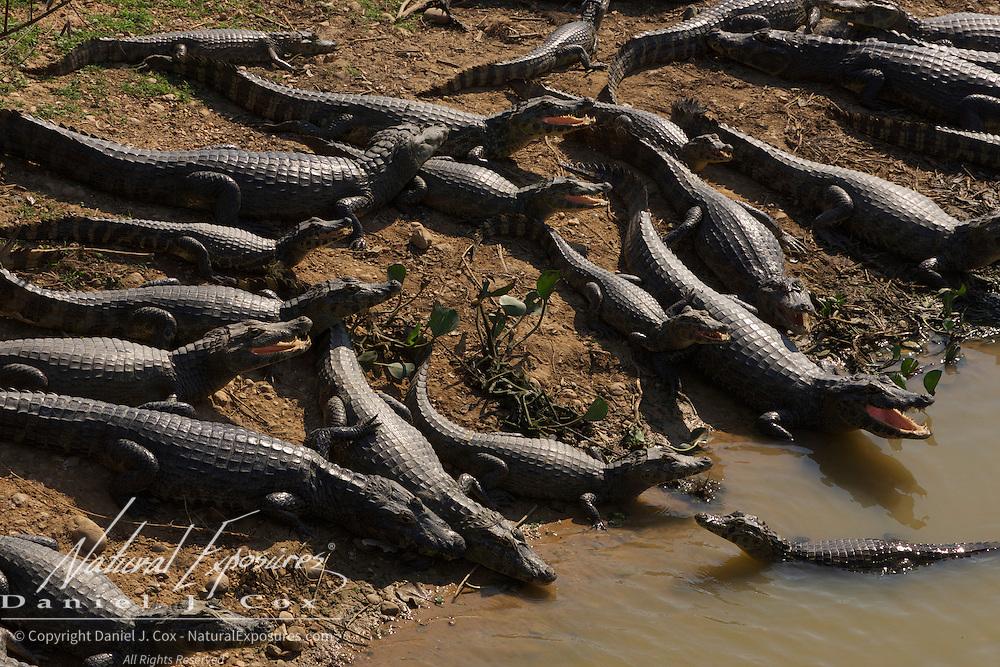 Caiman, Pantanal, Brazil.