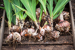 Lifting gladiolus bulbs before winter