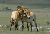 Breeding herd of Przewalski horses in Cervennes region of France to ship back to Mongolia two young stallions playing   Photo: Peter Llewellyn
