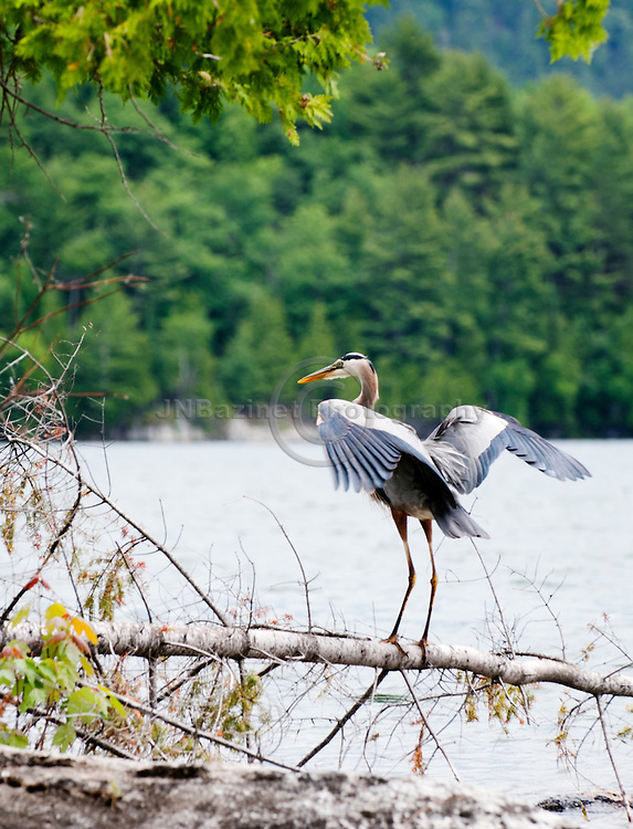 Great Blue Heron standing on a fallen tree on the shores of Lake Heaney, Quebec.