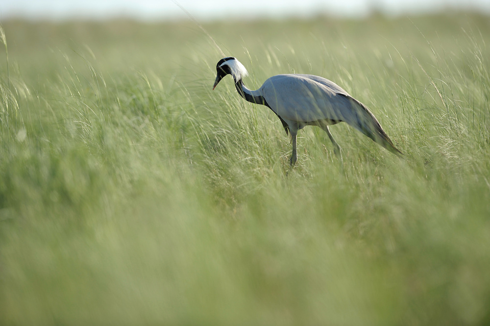 Mission: Saiga .A demoiselle crane (Anthropoides virgo) in the steppe of Cherniye Zemly (Black Earth) Nature Reserve, Kalmykia, Russia, April 2009  (Anthropoides virgo).