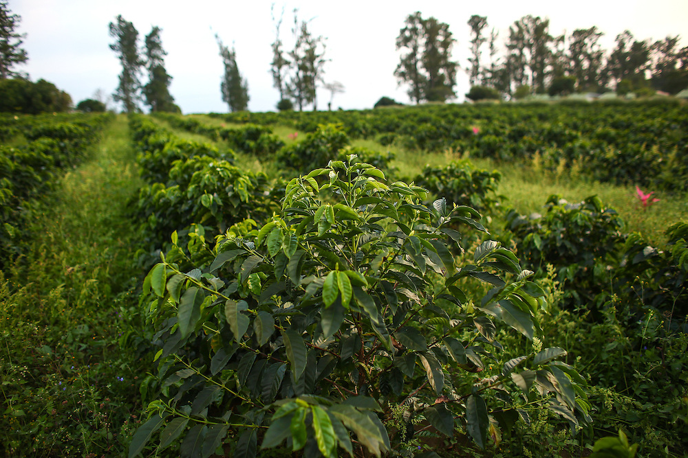 Coffee trees at Hacienda Alsacia are shown during the 2016 Starbucks Origin Experience for Partners. Photographed in January 2016. (Joshua Trujillo, Starbucks)