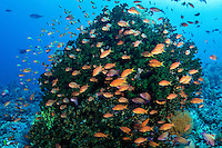 Anthias feed in the current around a Tree Coral colony<br /> <br /> <br /> Shot in Indonesia