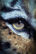 Siberian tiger (Panthera tigris altaica) eye detail. Range: Siberia to Manchuria, China. © Michael Durham / www.durmphoto.com