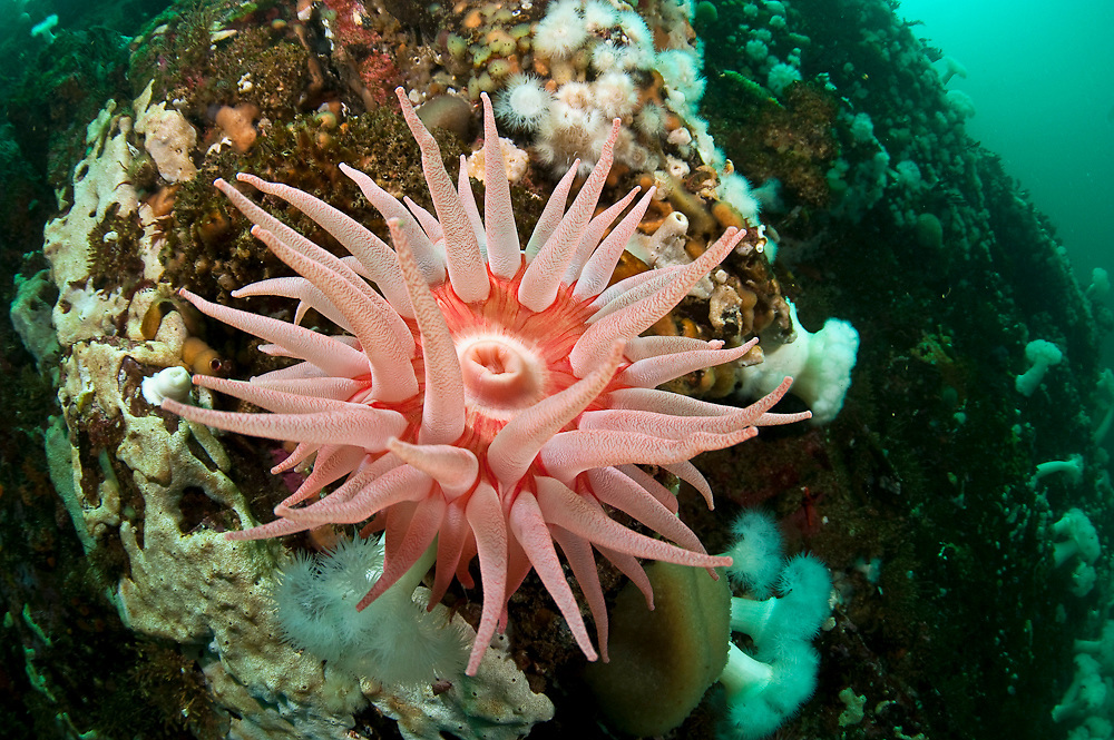 The underwater cliffs of Browning Passage in Vancouver Island, British Columbia, Canada are home to Snakelock Anemones, Cribrinopsis fernaldi.
