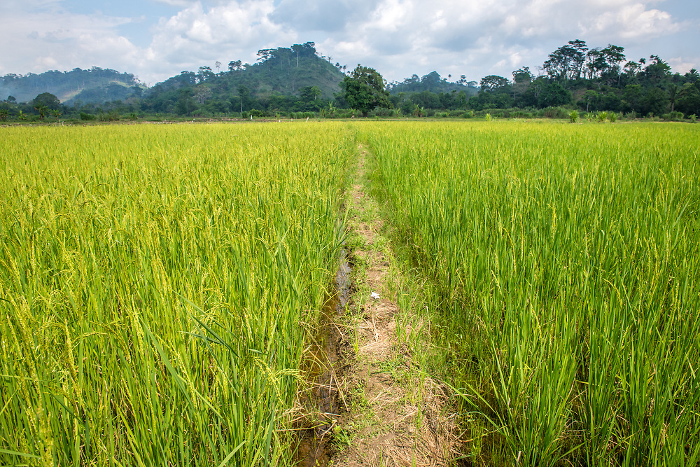 A foot path cuts through an African rice (Oryza glaberrima) field, Gbedin village, Nimba County , Liberia