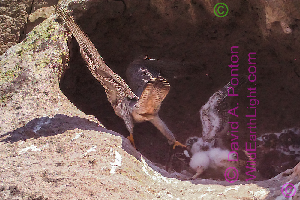 Nestling peregrine falcon tugs at prey (white-throated swift) as adult trys to retain control. [photo by motion-activated camera, low-resolution limits repro. size] © 2016 David A. Ponton