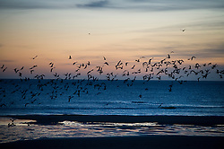 © Licensed to London News Pictures. 25/12/2015. Tynemouth, UK. Birds in flight at first light before Sunrise on Christmas day on Longhands beach in Tynemouth, north east England. Photo credit: Ben Cawthra/LNP