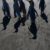 Antarctica, South Georgia Island (UK), Overhead view of King Penguins' shadows (Aptenodytes patagonicus) along shoreline at massive rookery along Saint Andrews Bay
