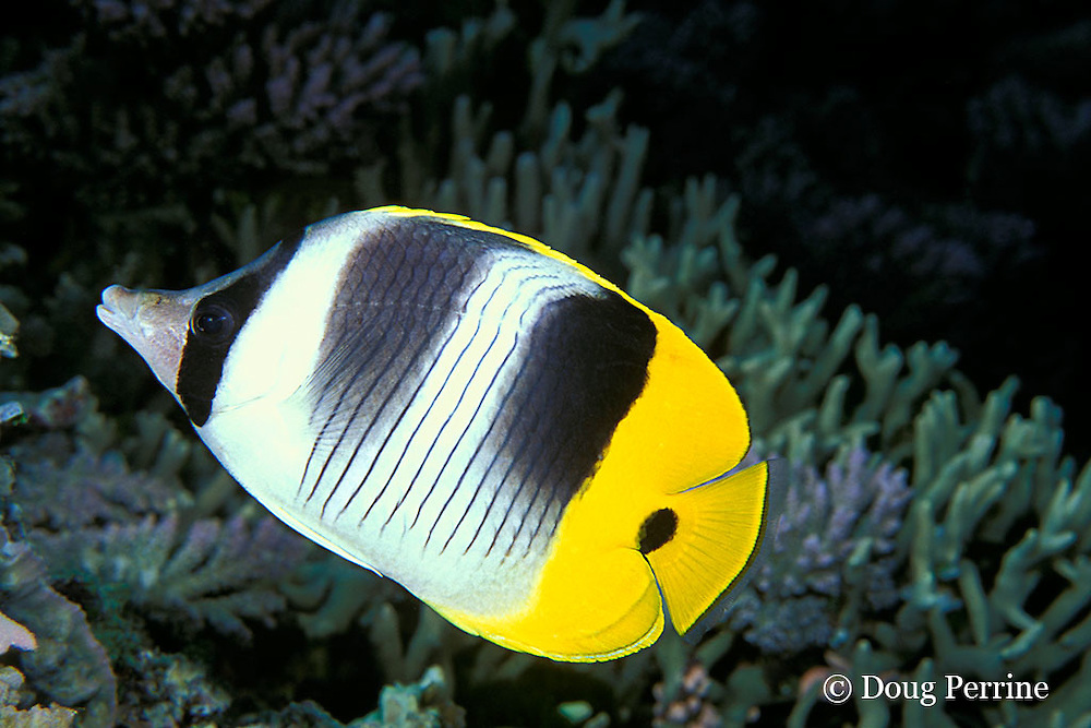double-saddle butterflyfish or coralfish, Chaetodon ulietensis, Great Barrier Reef, Australia ( Western Pacific Ocean )