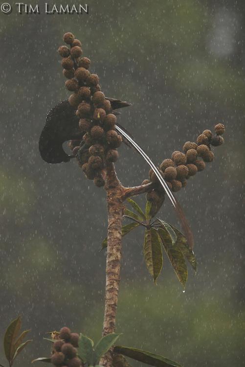 Immature male Ribbon-tailed Astrapia (Astrapia mayeri) feeding on fruit of Schefflera plant.