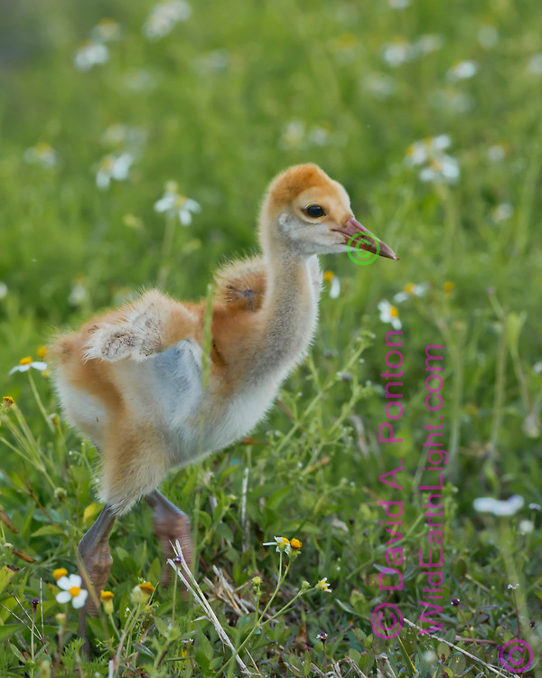 Downy sandhill crane chick runs and flaps its little wings, © 2014 David A. Ponton