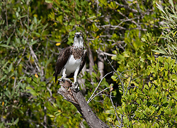 An osprey with a fresh catch of fish rests on a branch on the Kimberley's Hunter River, Western Australia.