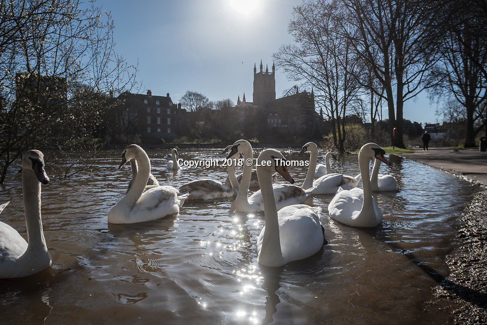 Worcester, Worcestershire, UK. 5th April 2018. Despite a respite in the weather, flood waters remain high in Worcester with the race course and county cricket club partially covered in the wet stuff. Pictured:  Swans take advantage of the flood waters on the River Severn near to the city's famous Cathedral. // Lee Thomas, Tel. 07784142973. Email: leepthomas@gmail.com  www.leept.co.uk (0000635435)