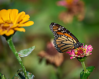 Monarch Butterfly on a Pink Flower. Autumn Backyard Nature in New Jersey. Image taken with a Nikon D810a camera and 300 mm f/4 lens (ISO 200, 300 mm, f/5.6 1/1000 sec)