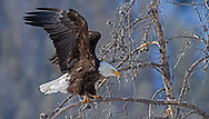 A bald eagle stretches its wings before flying off to join its mate high above the Absaroka Mountains in the Shoshone National Forest.