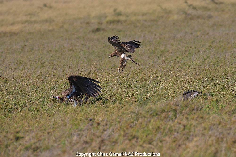 Tawny Eagle (Aquila rapax) coming in for a landing next to a Lapped-faced Vulture (Torgos tracheliotos) at a kill, Serengeti National Park, Tanzania, Africa; bird of prey; carnivore; foraging; dry season