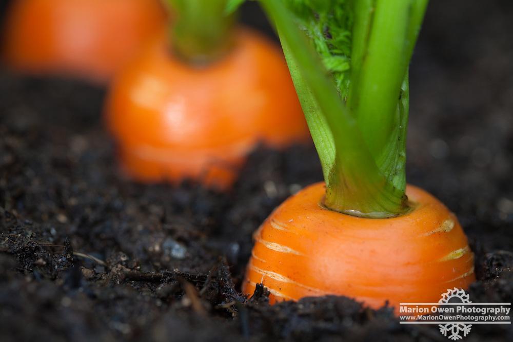 Carrots growing in an Alaska garden Marion Owen Photography