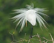 A great egret (Ardea alba) in breeding plumage, High Island, Texas