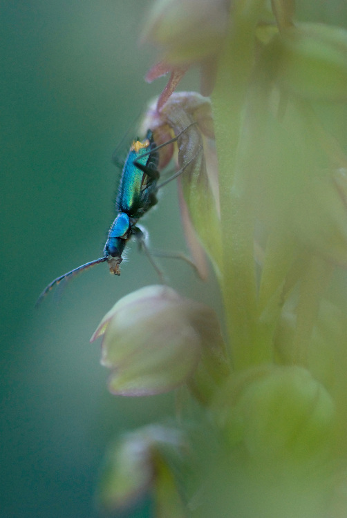 Apulia; Gargano National Park; Gargano Peninsula; Italy; Man Orchid; Orchis anthropophora
