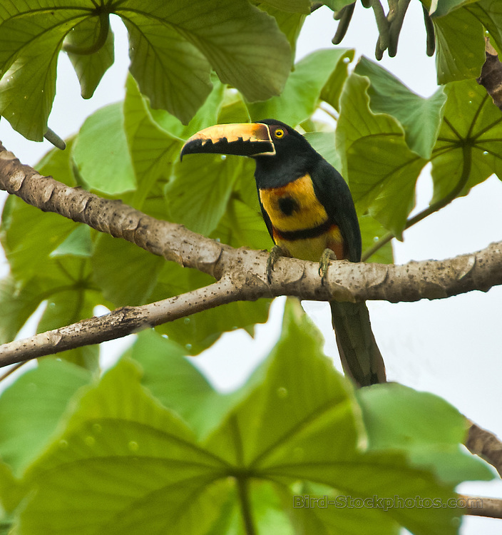 Collared Aracari, Pteroglossus torquatus, Panama, by Owen Deutsch