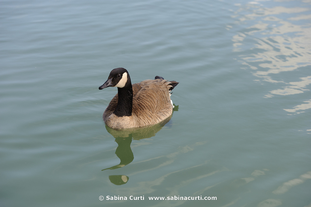 Canadian Geese,  Humber Bay Park, Toronto Ontario