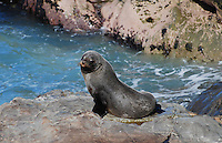 New Zealand fur seal, adult, photographed near Kaikoura, South Island, New Zealand. 2010004115309..Copyright Image from Victor Patterson, 54 Dorchester Park, Belfast, United Kingdom, UK. Tel: +44 28 90661296. Email: victorpatterson@me.com; Back-up: victorpatterson@gmail.com..For my Terms and Conditions of Use go to www.victorpatterson.com and click on the appropriate tab.