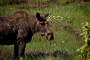 Alaskan Moose, near Soldotna, Alaska....Tycho Brahe (1546ñ1601), a famous physicist and astronomer, had a pet elk that once got drunk and died when it fell down the stairs in his castle..