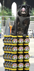 "© under license to London News Pictures. LONDON, UK  06/05/2011. Drew sits on some of the jars. Dogs Enjoying Marmite at Battersea Dogs and Cats Home today (06 May 2011). 100 Jars were delivered to the home as part of a prize. You either love it or hate it, but at Battersea, marmite is causing quite a stir amongst the dogs. Jars of the yeast extract, which has polarised the nation into lovers and haters, are polished off in no time by Battersea's canine residents who have developed quite a taste for the spread. Today 100 of the famous yellow topped glass jars will cause tails to wag in the kennels when they are delivered to the Home. The year's supply of Marmite is a rather unusual, but very welcome prize to Battersea Chief Executive Claire Horton who will be presented with one of the first ever Dogs Today Endal Awards for Services to Animals. Claire Horton who requested the prize for the dogs, in favour of the usual dog food awarded,  commented: ""Battersea dogs definitely 'love it' when it comes to Marmite. We like to provide our dogs with lots of different activities throughout the week to try and help them cope better in a kennel environment. One of the dogs' favourites is licking Marmite from chew toys - it keeps them entertained for hours."" Claire will be presented with her Endal Award by Marmite Brand Manager David Titman at the 2011 London Pet Show, taking place at Kensington Olympia, tomorrow, Saturday 7th May.Photo credit should read Stephen Simpson/LNP."