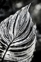 A black and white abstract of a Canna Tropicanna leaf.
