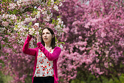 © Licensed to London News Pictures. 17/04/2019. London, UK.  A woman takes a photograph of the cherry blossom during warm spring weather in Regents Park this afternoon.  Photo credit: Vickie Flores/LNP