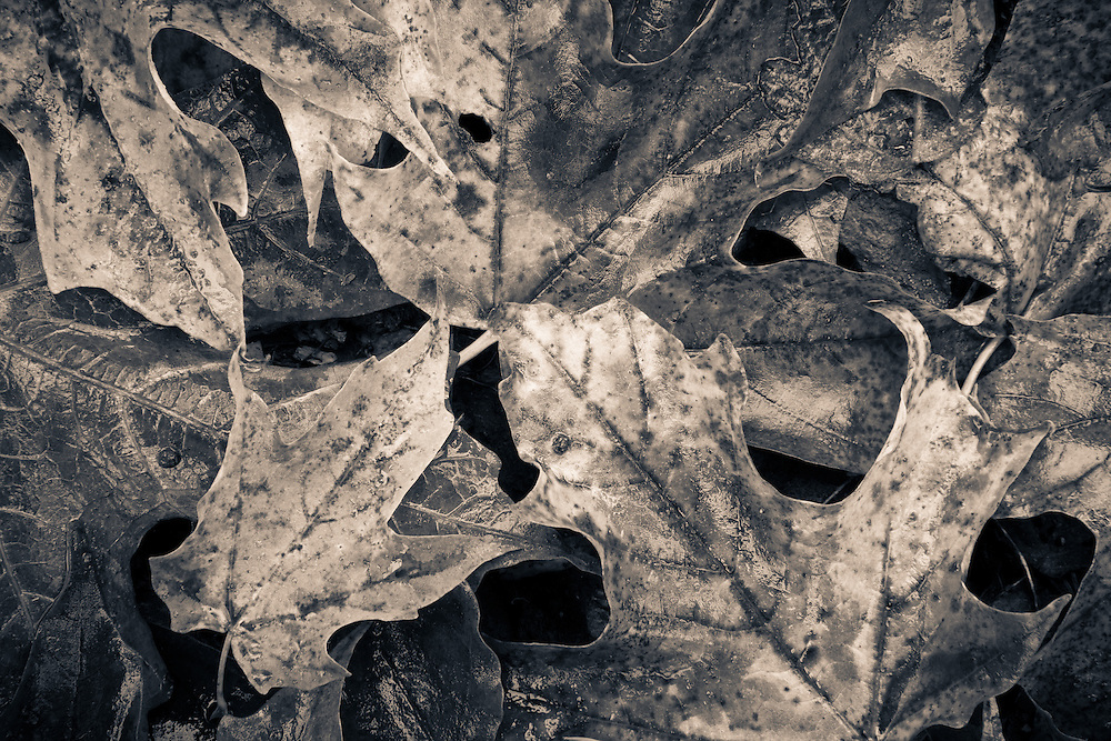 close up detail of maple leaves in black and white