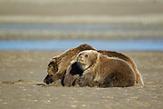Alaskan brown bear Alaskan brown bear with cubs in Lake Clark National Park