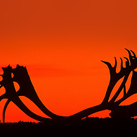 Silhouette of caribou antler with skull at sunset in Northwest Territories Canada.