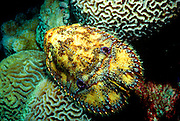 UNDERWATER MARINE LIFE WEST PACIFIC: Southwest LOBSTER: Slipper lobster Scyllaridae species