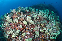 The strong currents in the Misool area create perfect conditions for filter feeders such as soft corals, sea fans, leather corals and sponges and in most areas, the rocky substrate is literally carpeted in life.  The reefs of Raja Ampat are some of the most diverse and healthiest in the world.