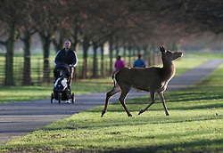 © Licensed to London News Pictures. 31/12/2015. London, UK. A deer passes a man pushing a pram in Bushy Park. Photo credit: Peter Macdiarmid/LNP