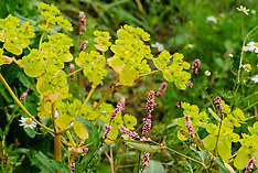 Kroontjeskruid, Euphorbia helioscopia