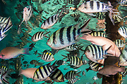 Scissortail Sergeant (Abudefduf sexfasciatus)<br /> Raja Ampat<br /> West Papua<br /> Indonesia<br /> & other mixed species