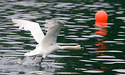 Swan during finals of Rowing World Cup  on May 30, 2010, at Bled's lake, Bled, Slovenia. (Photo by Vid Ponikvar / Sportida)