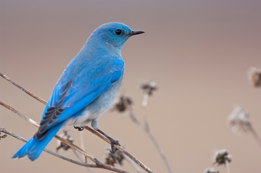 Mountain Bluebird, Sialia currucoides, male, Bosque del Apache NWR, New Mexico